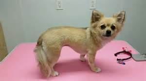 haired chihuahua haircuts lilly long hair chihuahua haircut dirty critter