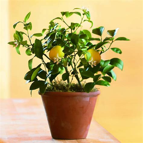 Cool Small Kitchen Ideas by Organic Dwarf Meyer Lemon Tree The Green Head