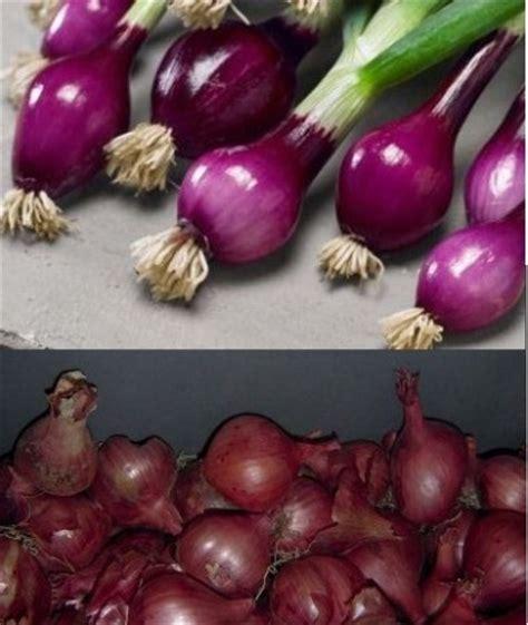 Hormon Zpt Alami bawang merah sebagai perangsang akar alami bibitbunga