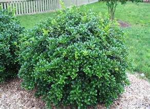 evergreen flowering shrubs sun flowering evergreen shrubs sun www pixshark