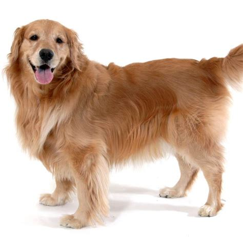 grooming golden retriever the golden retriever network