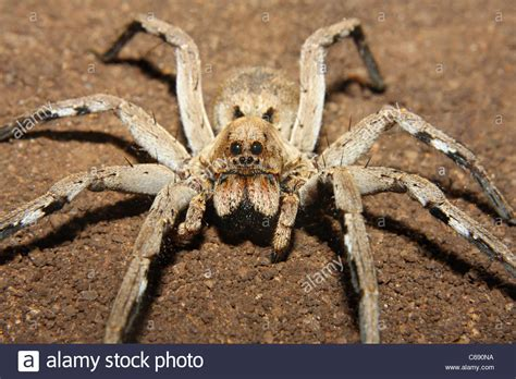 wolf spider images lycosidae stock photos lycosidae stock images alamy