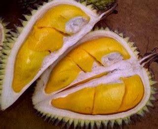 Bibit Durian Petruk bibit durian petruk 70 cm jualbenihmurah