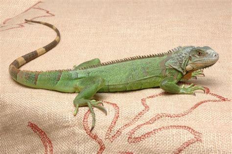 imagenes iguanas verdes iguana verde e iguana negra hogarmania
