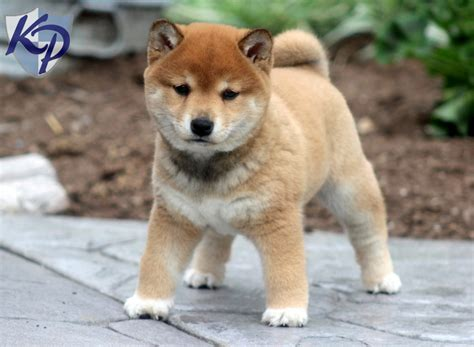 shiba puppy the gallery for gt shiba inu grown white