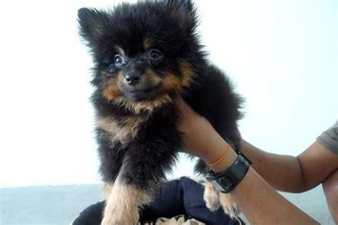 black and pomeranian for sale pomeranian puppy sold 6 years 3 months black and pomeranian for sale from klang