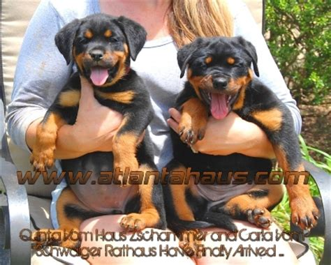 rottweiler puppies atlanta adrk import rottweiler females rottweiler breeders rottweiler puppies for sale