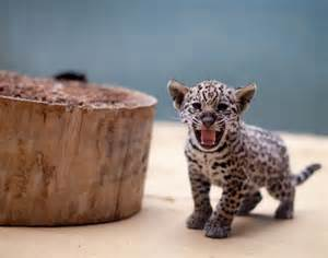 Pics Of Baby Jaguars Baby Jaguar Cub Photos Most Delightful Baby Animals