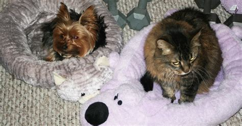 yorkie beds miniature yorkshire terrier cats beds and dog beds for