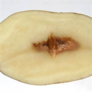 Crop Plant Diseases - potato disorders ahdb potatoes