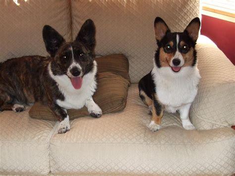 corgi puppies for sale in southern california cardigan corgi breeders northern california gray cardigan sweater