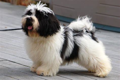 royal flush havanese dogs in the summer more harmful than helpful