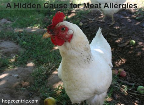 allergic to chicken a cause for allergies 171 hopecentric