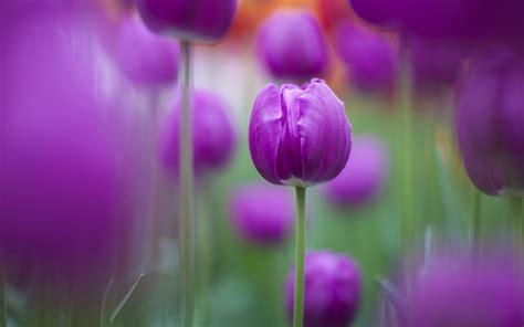 imagenes para fondo de pantalla de tulipanes tulipanes morados fondo de pantalla 1920x1200 id 1147