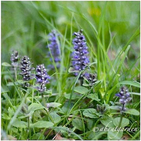 fiori spontanei viola la tappezzante dai fiori aboutgarden