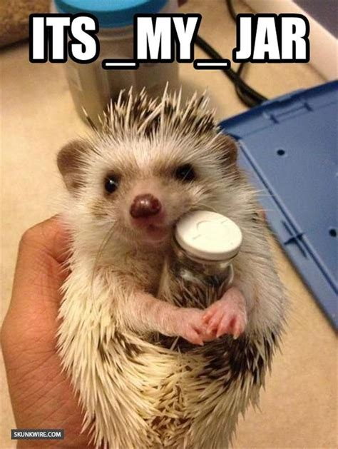 Hedgehog Meme - it s my jar hedgehog memes and comics