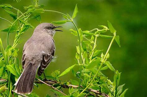 attract northern mockingbirds   backyard birds