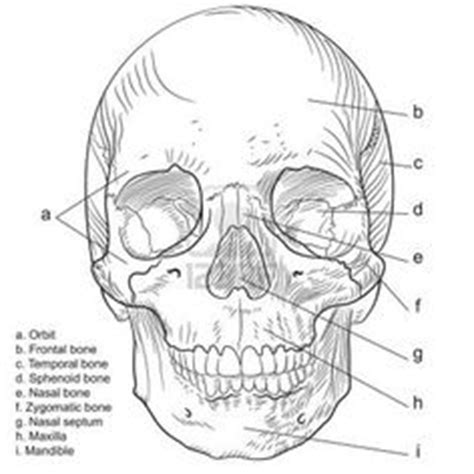 anatomy coloring pages skull drawing anatomy anatomy of page 1 filetraffic