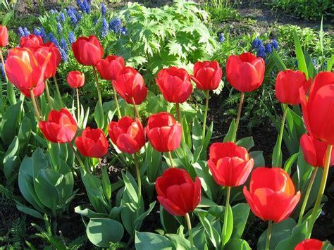 Pupuk Untuk Bunga Tulip kapan menanam tulip di musim gugur di bulan mana