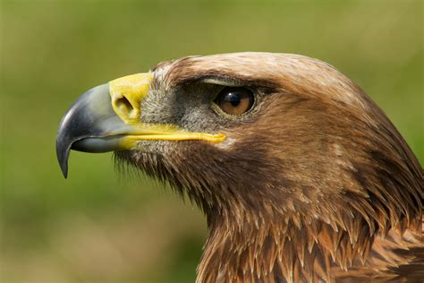 Close-up of golden eagle head with catchlight   Nick Dale
