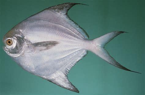 Umpan Bibit Ikan Bawal ikan bawal hitam pictures to pin on thepinsta