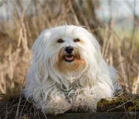 problems with havanese havanese health problems