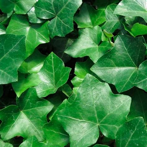 plants   purify  air   house ivy
