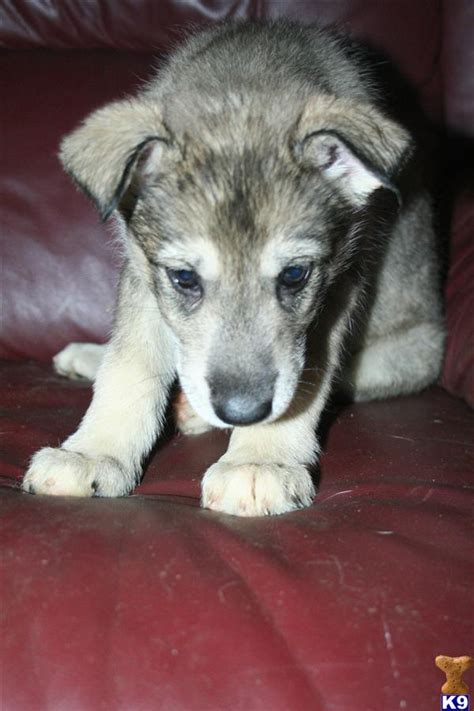 saarloos wolfdog puppies for sale wolf pups 29830