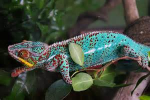 colorful chameleon unseen ten things you didn t about chameleons