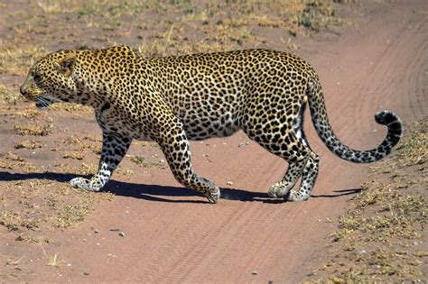 s leopard cannundrums leopard
