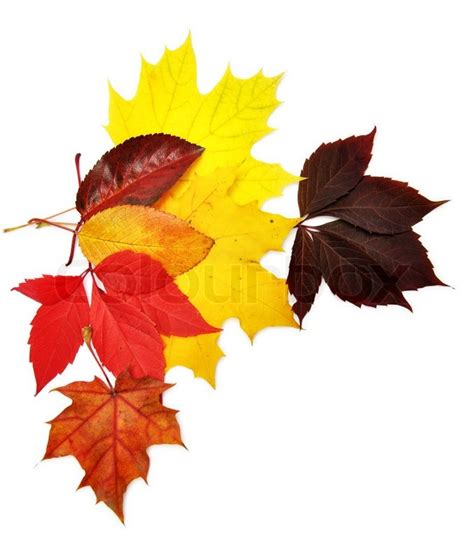 Fall Leaves On White Background Colorful Autumn Leaves Over White Background With Clipping Path Stock Photo Colourbox