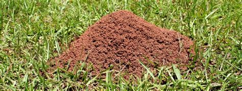 ants in bed are fire ants invading your lawn or garden tallapoosa