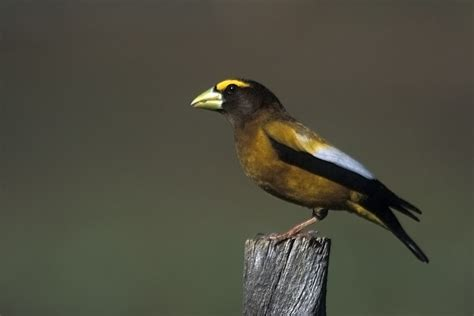 file evening grosbeak male jpg wikimedia commons