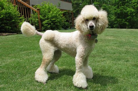 pictures of different types of poodle hair cuts types of poodle cuts 52 best images about manly standard