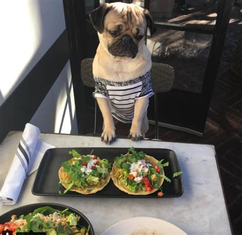 what do pugs eat and drink 17 times you and doug the pug on instagram were the same