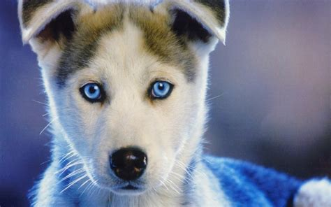 puppy with blue husky puppies with blue wallpaper