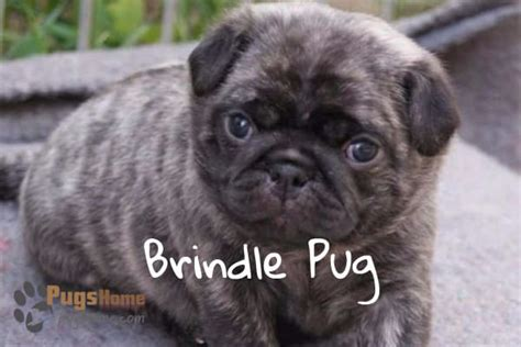 colors of pug dogs brindle pug puppies one of the most favorite pug breed