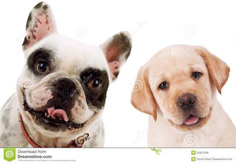 puppy and labrador retriever and bull puppy dogs royalty free stock image image