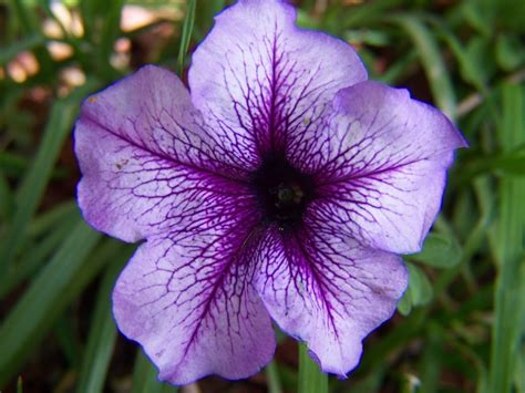 p is for petunia a delicate flower flower blog