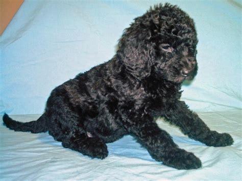black labradoodle puppy black labradoodle puppy hi res 720p hd