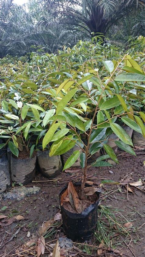Bibit Durian Musang King Bersertifikat harga bibit durian pusat bibit durian montong dan bawor