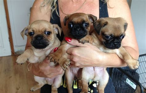 pug cross dogs pug cross puppies for sale gloucester gloucestershire pets4homes