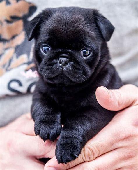 pug noir bb carlin noir pics pug