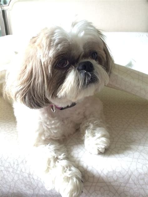 apricot shih tzu 17 best images about favorite shih tzu pics on pets puppys and dogs