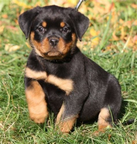 puppies for sale san francisco rottweiler sale civic center ca hoobly us