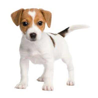 origin of dogs the origin of dogs scientific american