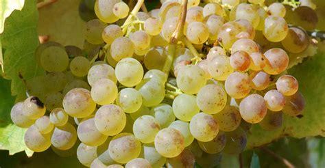uva da tavola nomi uva durella archivi durello wine