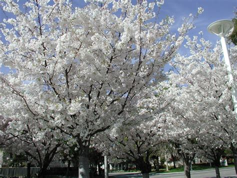 livermore ca cherry trees in front of livermore public