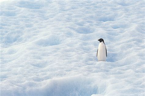 南极冰地帝企鹅图片 - 素材公社 tooopen.com