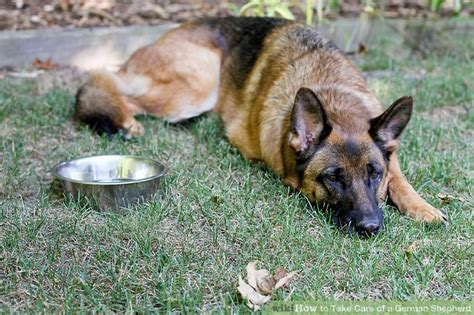 how do german shepherds live how to take care of a german shepherd 9 steps with pictures